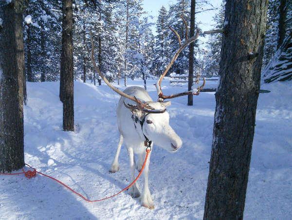 renne Laponie